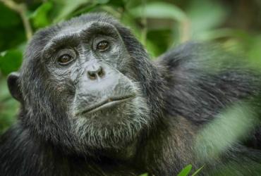 315931-kyambura-chimp