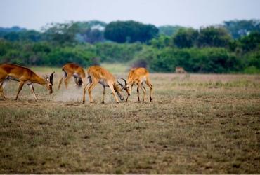 368002-antelope-playing