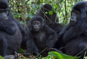 368051-three-mountain-gorilla