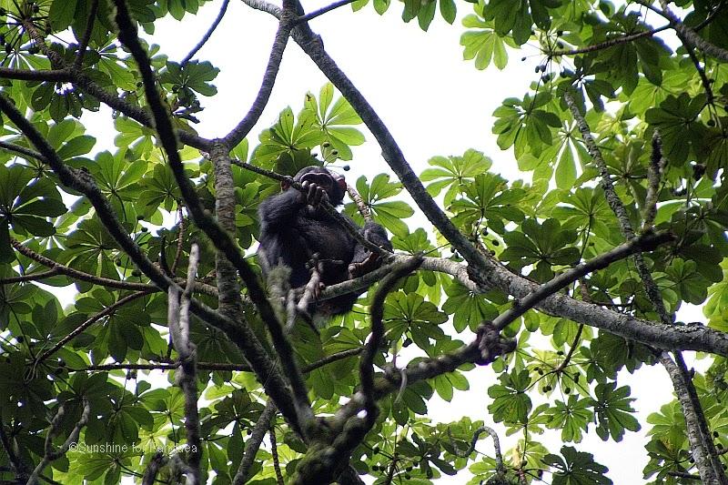 Kalinzu Forest Chimpanzee trekking