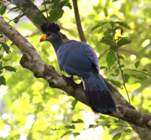 Kalinzi forest birds